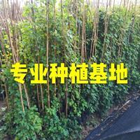 工程绿化爬山虎 藤本植物爬山虎批发  福建爬山虎价格爬山虎基