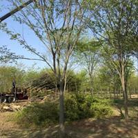 榉树基地 红榉树 树形优美 优质绿化行道树