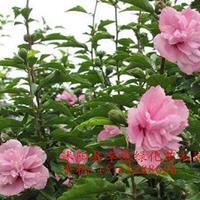 供应木槿、百日红、紫荆、紫薇、紫叶李、高杆女贞、樱花