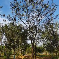 安徽[產品]/安徽精品樸樹 20公分樸樹 25公分樸樹 30公分樸樹價格/報價