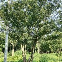 優質特價安徽叢生樸樹農戶產地直銷