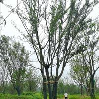 大小規格滁州叢生樸樹 單桿樸樹 雙桿樸樹 精品樸樹基地