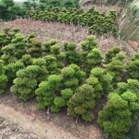 庭院种植什么合适.家门口种赤楠盆景.造型小叶赤楠盆景