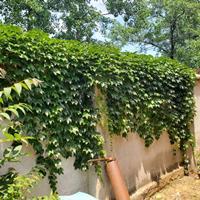 爬山虎苗批发 护坡爬藤爬山虎常绿 围墙景观美化植物