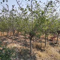 苗圃大量出售   5-7公分垂絲海棠