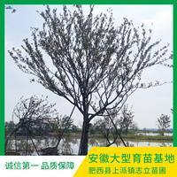 安徽單桿樸樹基地-移植單桿樸樹產地-樸樹價格-樸樹直銷