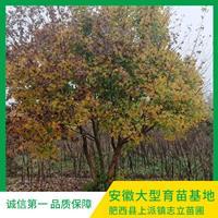 安徽肥西丛生五角枫大型基地-肥西丛生五角枫种植产地