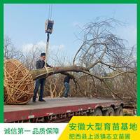 安徽單桿樸樹種植基地-安徽單桿哪里有-安徽單桿樸樹低價-