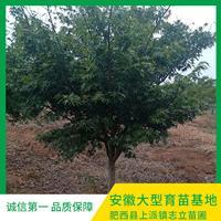 安徽鸡爪槭种植基地-安徽鸡爪槭低价出售-安徽鸡爪槭产地