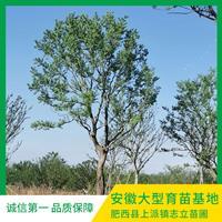 大量烏桕現貨10-35cm 志立苗圃基地 質量好 價格優惠