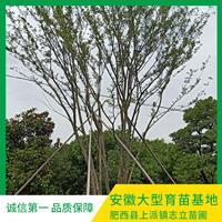 叢生樸樹 多桿叢生樸樹報價 優質苗圃苗木供應基地 叢生樸樹優