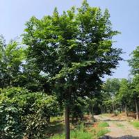 樸樹*新價格,樸樹報價,樸樹圖片,樸樹產地直銷