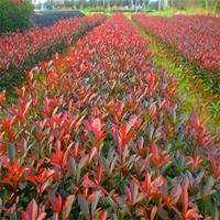 基地长期供应绿化正好彩票网红叶石楠苗红叶石楠球工程绿化苗