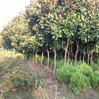 廣玉蘭 廣玉蘭樹價格 廣玉蘭圖片 風景樹 綠化工程苗木