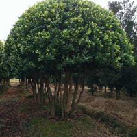 30公分造型高档造型赤楠 造型杨梅 造型杜英 30公分金叶榆