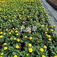 浙江孔雀草介绍/特征/用途