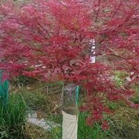 優質特價廣西桂林日本紅楓紅小袖價格優惠