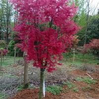 廣西桂林紅楓紅小袖行情報價/廣西桂林紅楓紅小袖價格優惠