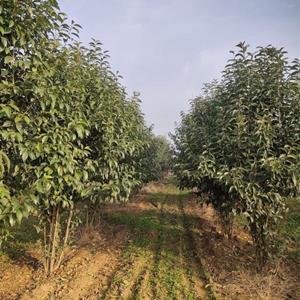 供应优质量冠幅50—300cm的丛生大叶女贞