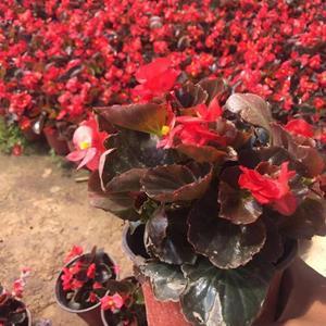 四季海棠自产自销  四季海棠低价处理  四季海棠批发价格