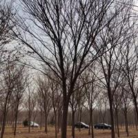 浙江苗圃基地直销榉树