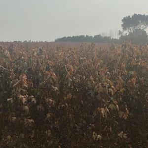 自己苗圃大量供应各种规格枫香,无患子,湿地松,栾树,乌桕,..