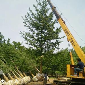 8-20公分银杏 江苏银杏树价格 银杏树的种植方法