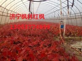 济宁市兖州区枫林苗木种植专业合作社
