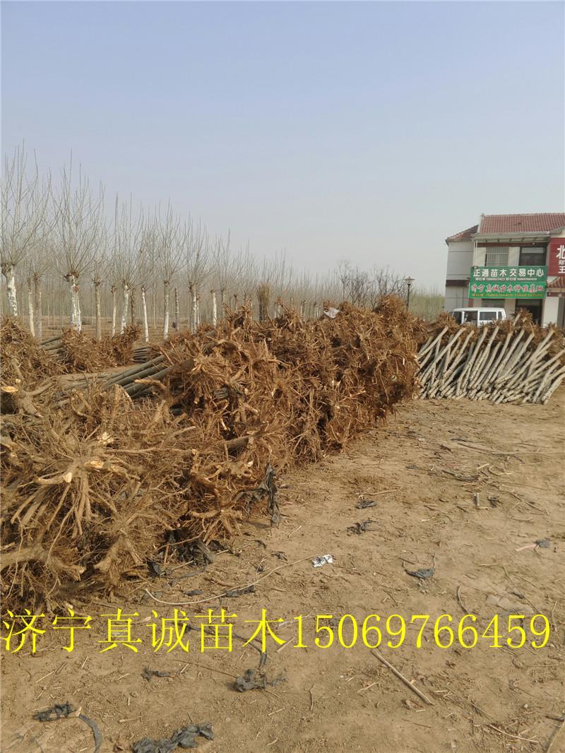 济宁市任城区真诚苗木种植基地