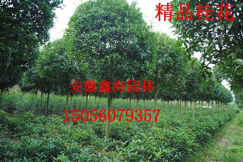 肥西县鑫海园苗圃