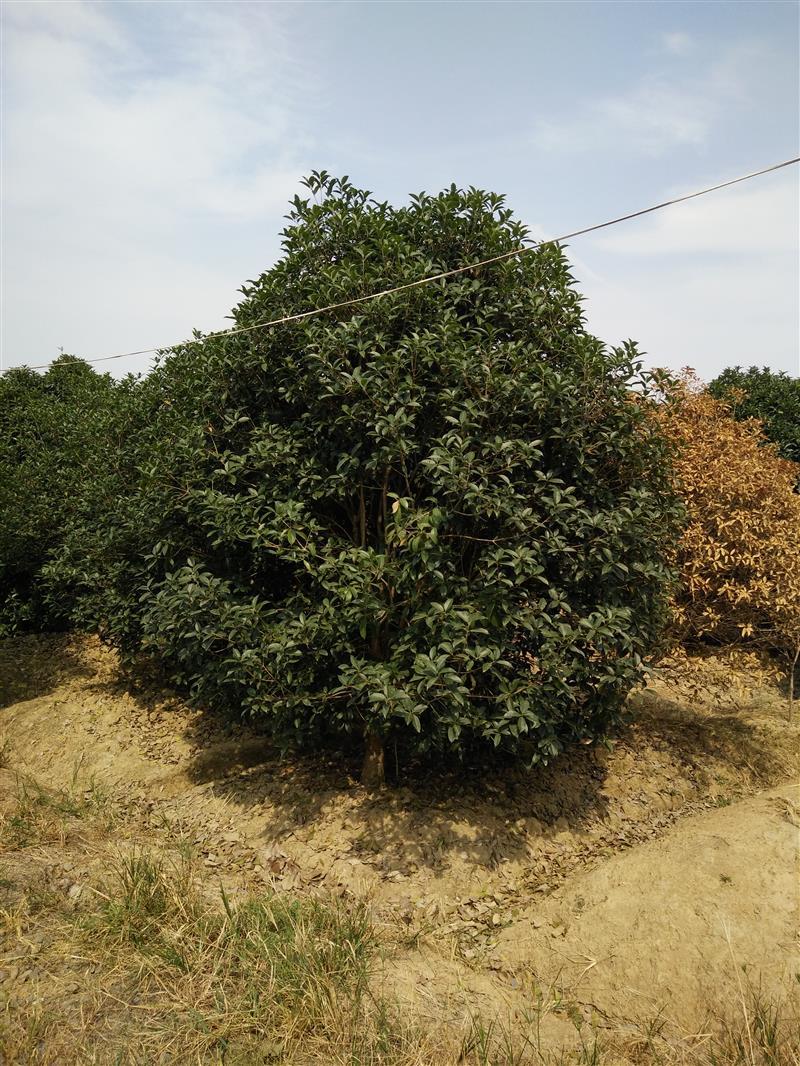 肥西县上派镇宏翠苗木场