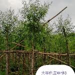 广东省中山市宽鹏绿化苗木场