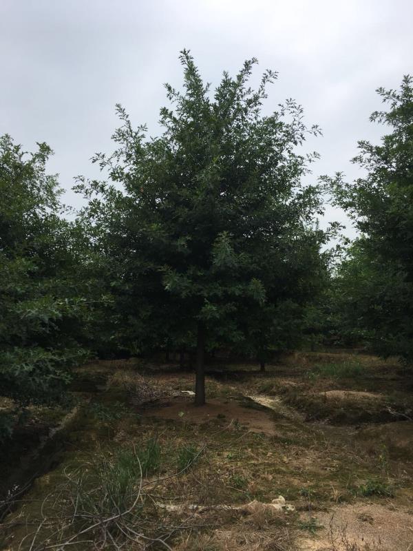 长兴白莲园林绿化苗木基地