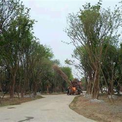 茶条槭基地