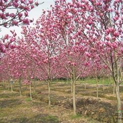 苗圃红花玉兰