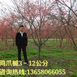 苗圃鸡爪槭