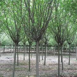 苗圃垂丝 西湖海棠