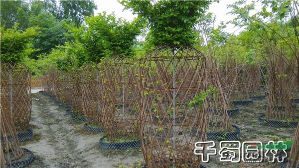 主营品种:紫薇各种编织造型
