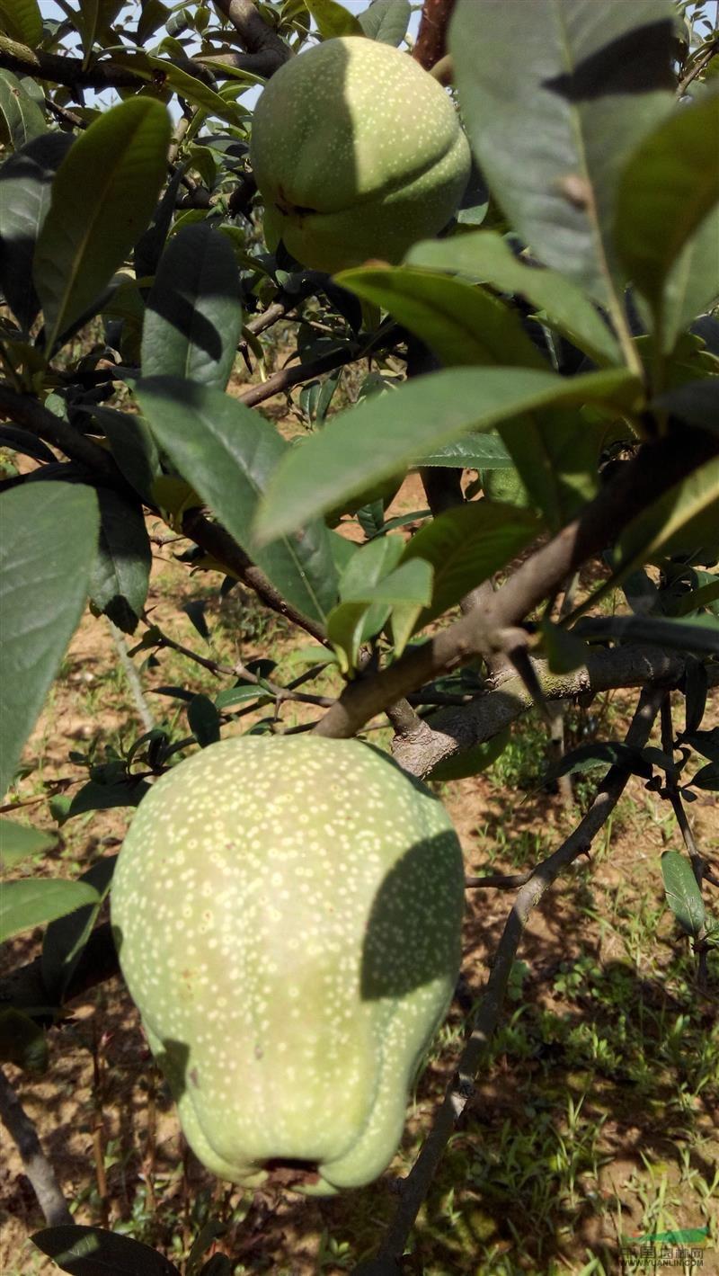 中白品种小木瓜图片