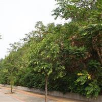 济南市长清区紫薇路道路绿化项目