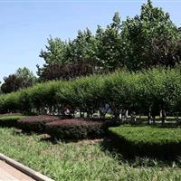 济南市长清大学路道路绿化项目