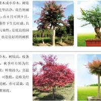 主要产品—观赏苗木